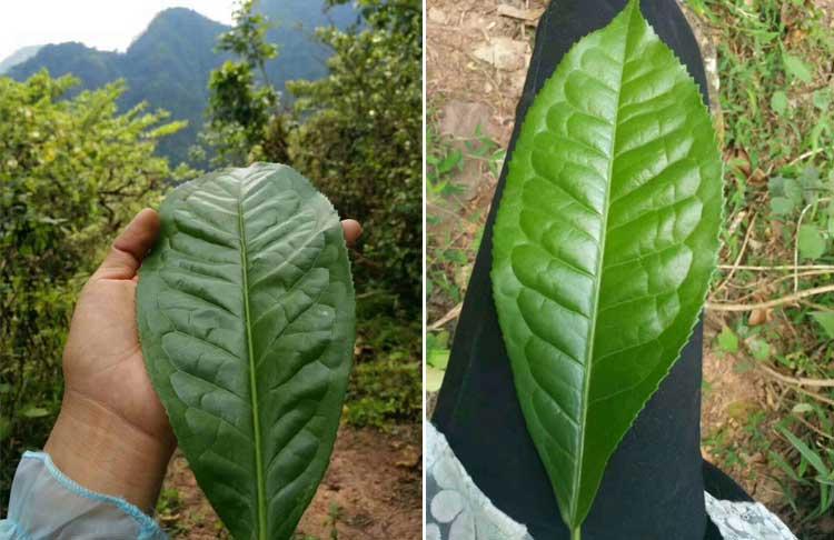 выросший чайный лист