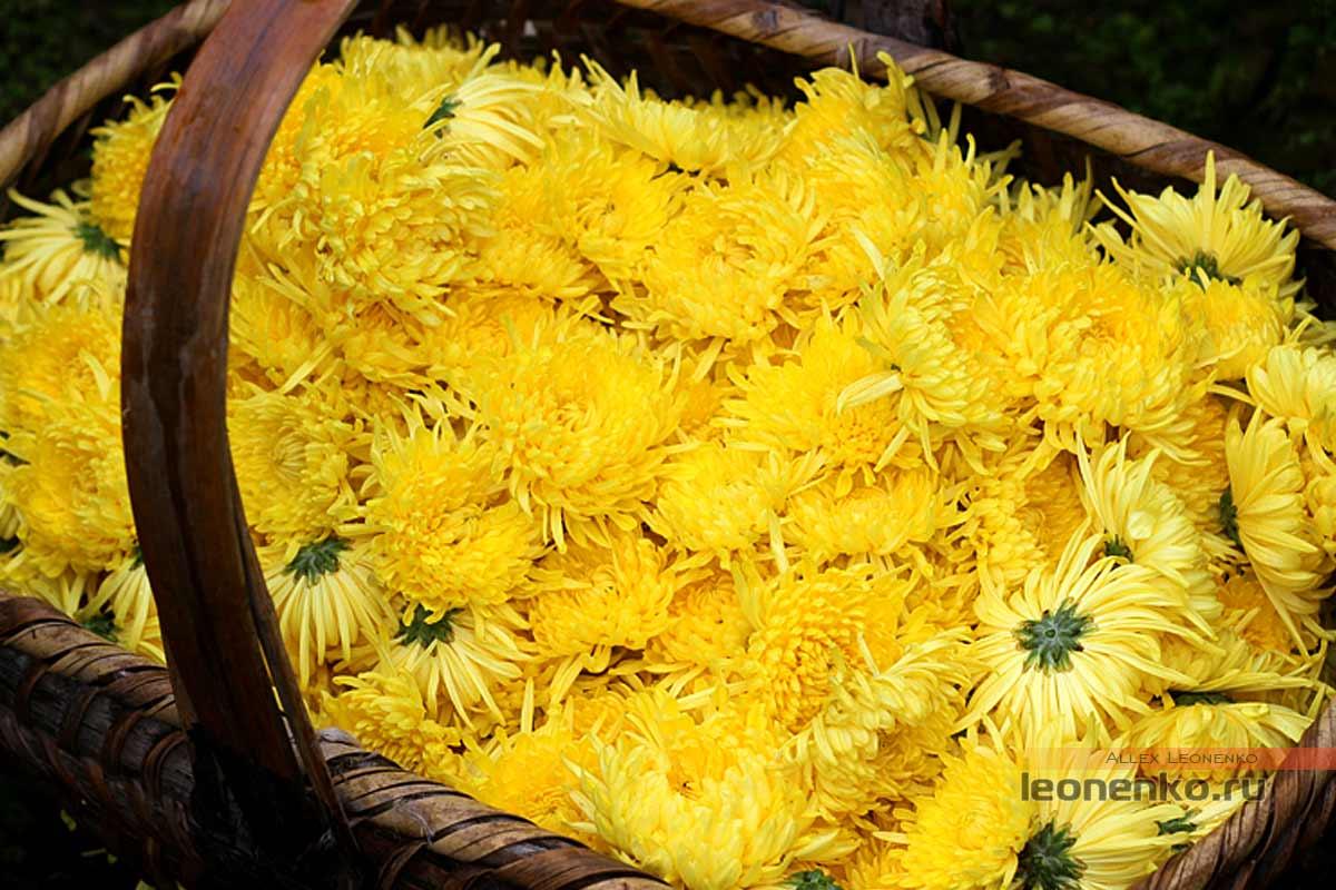 Собранные цветки хризантемы